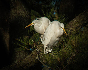 Two Of Hearts Egret Pair - Art Print