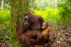 Orangutan's affected by deforestation