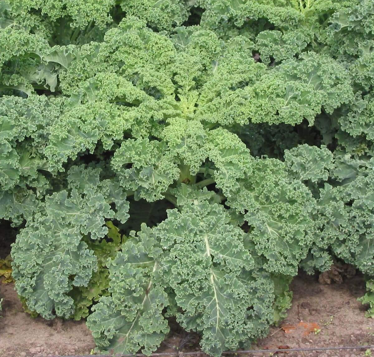 Kale – Kale Dwarf Blue Scotch – Organic