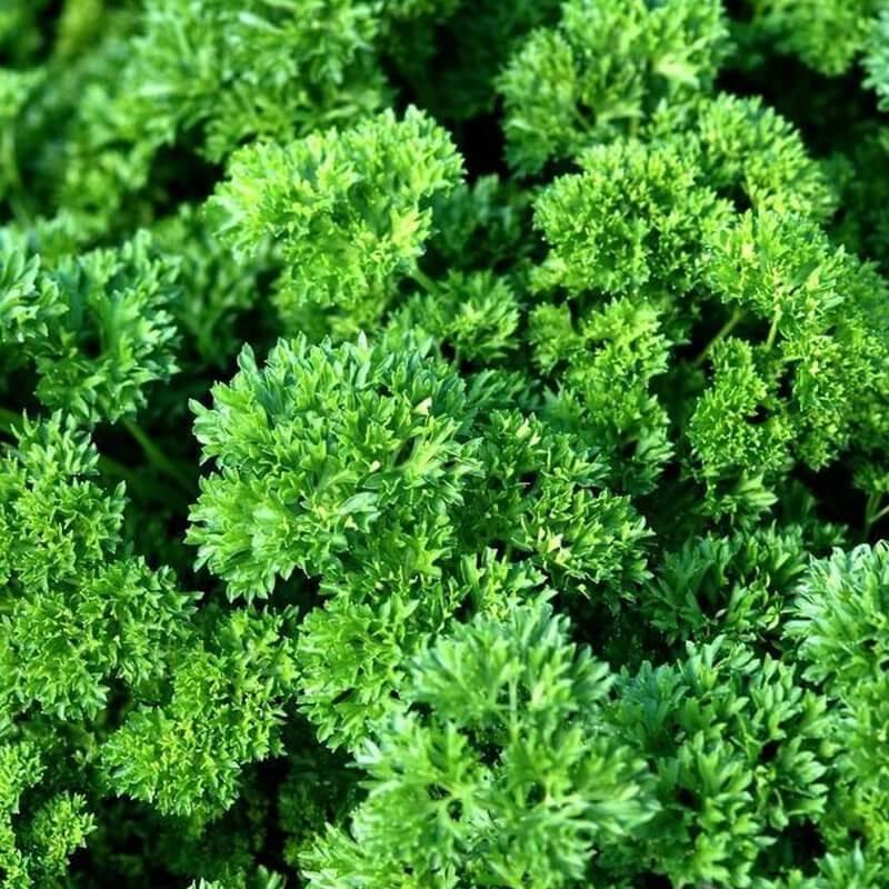Triple Darki Parsley – Organic