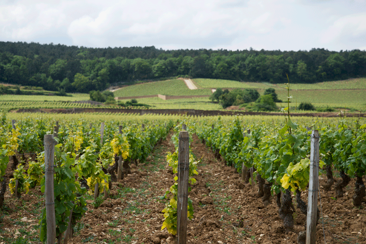 Burgundy Vineyards