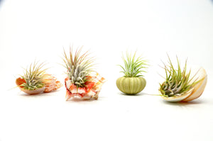 4 Piece Seashell Air Plant Set