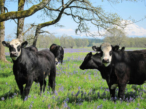 Harlow Cattle Co Washington State Grass fed grass finished beef