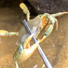 Load image into Gallery viewer, Crab Tongs
