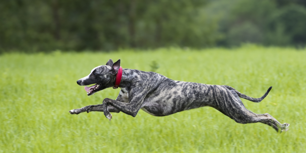 What Breed Of Dog Is The Fastest And Why?