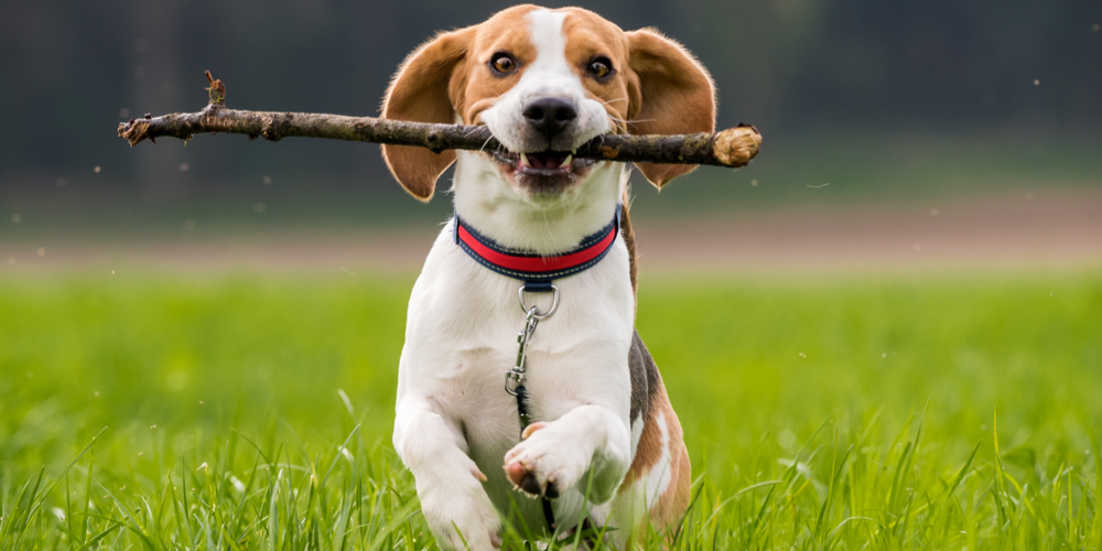 Why Dogs Get Sticks