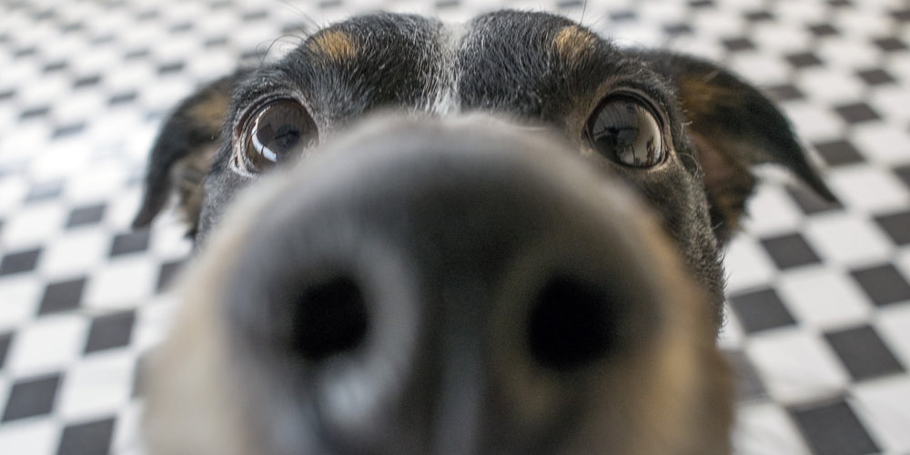 How Strong Is A Dogs Nose?