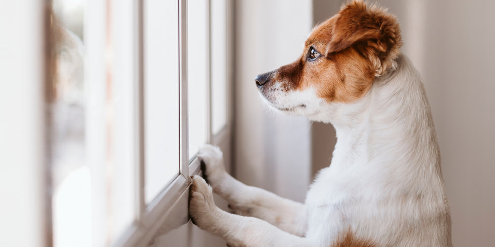 Why Your Dog Misses You From Work
