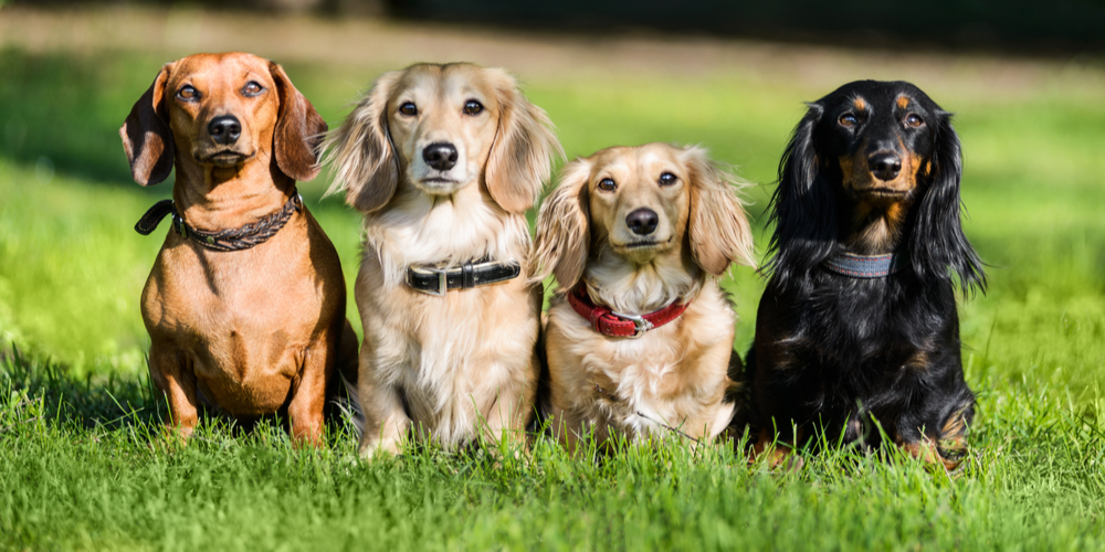 9 Things You Will Be Surprised To Learn About Dachshunds
