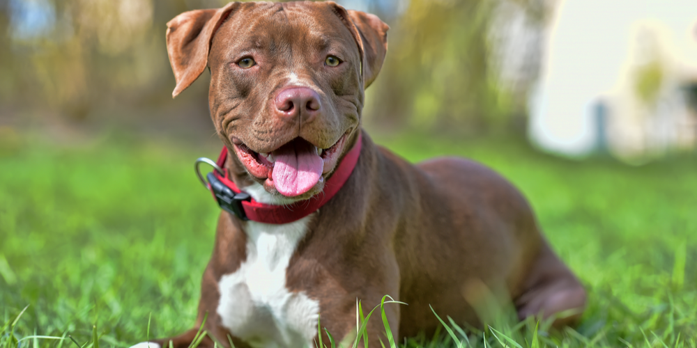 Myth Buster: Do Pitbulls Actually Have the Most Aggressive Tendencies?