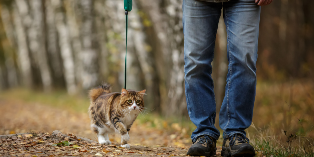 How To Leash Train Your Cat?