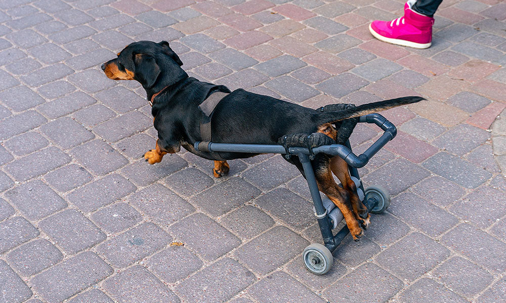 Dachshund on Wheelchair