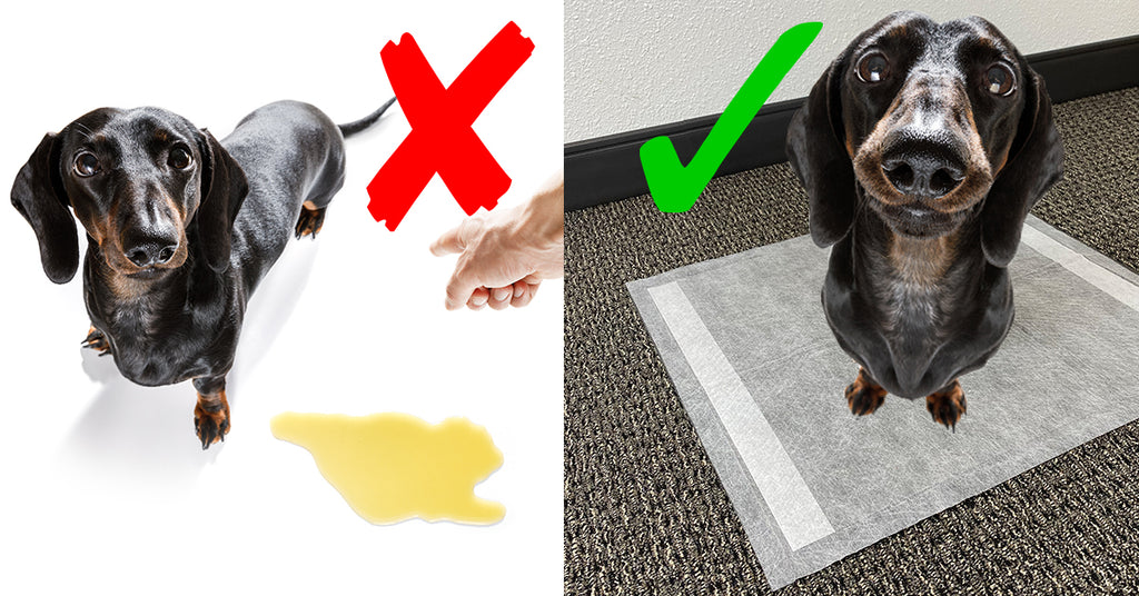 Dachshund Learning to Use Pee Pad