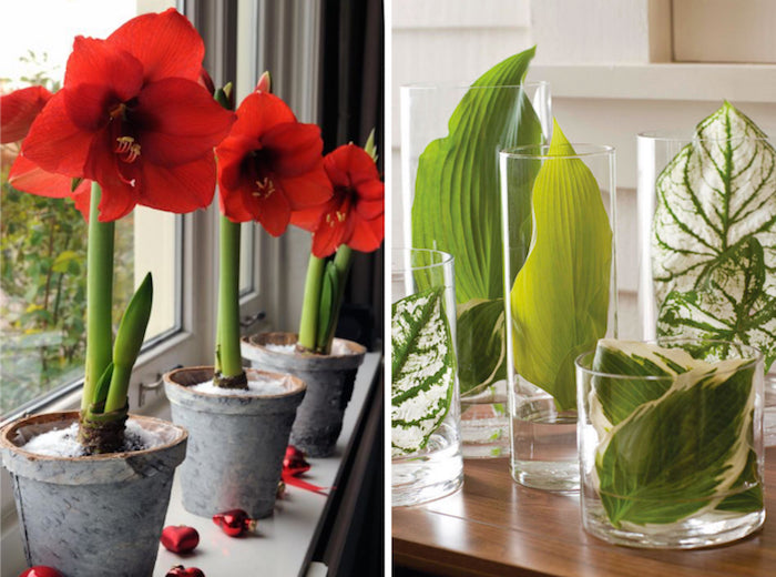 Red Amaryllis / Leaves in Jars