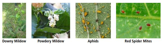 Hop Problems - Downy Mildew, Powdery Mildew, Aphids, Red Spider Mites