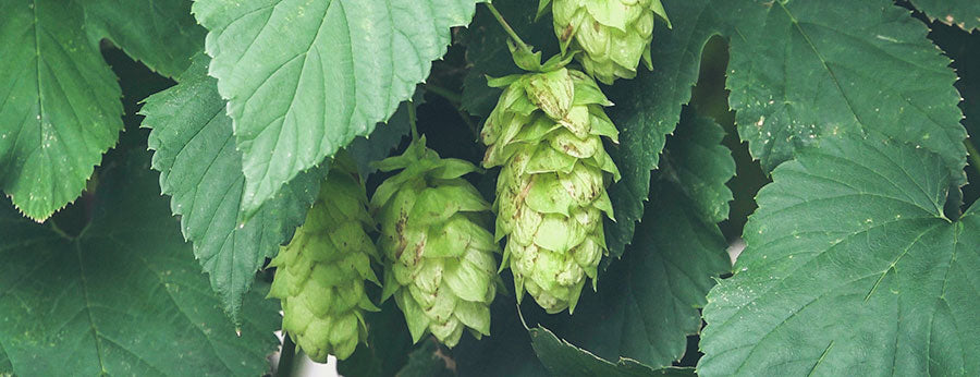 Knowing When to Harvest Hops