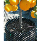 The air pot with an orange tree