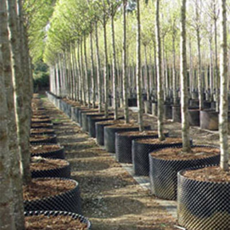 An orchard of air pots in use