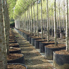 Long orchard of Air Pots in use
