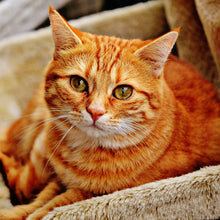 Load image into Gallery viewer, Orange Cat