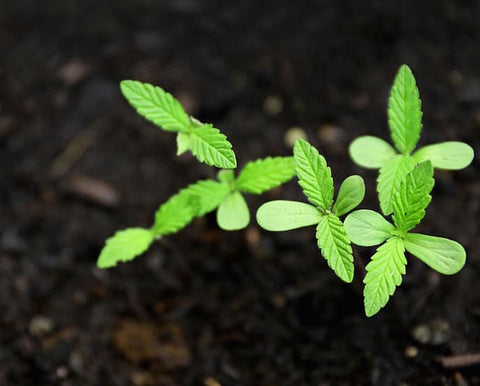 The Planning Stage Guide to Growing Hemp