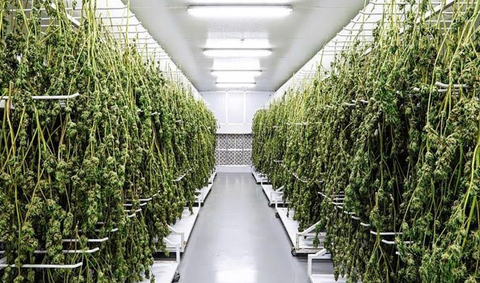 Drying Hemp Indoors