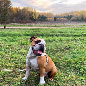 English Bull Dog Hemp Hardness earth friendly plant based no pull strong