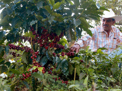 Mexican Coffee Ripe Beans