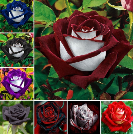 20 Pcs/bag Black Rose Flower Colorful Rose Petals Plant Seeds for Home Garden