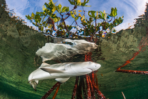shark in the mangrove roots