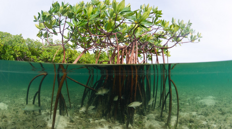 fish swimming in the mangrove roots