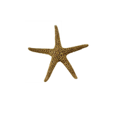 Florida Starfish