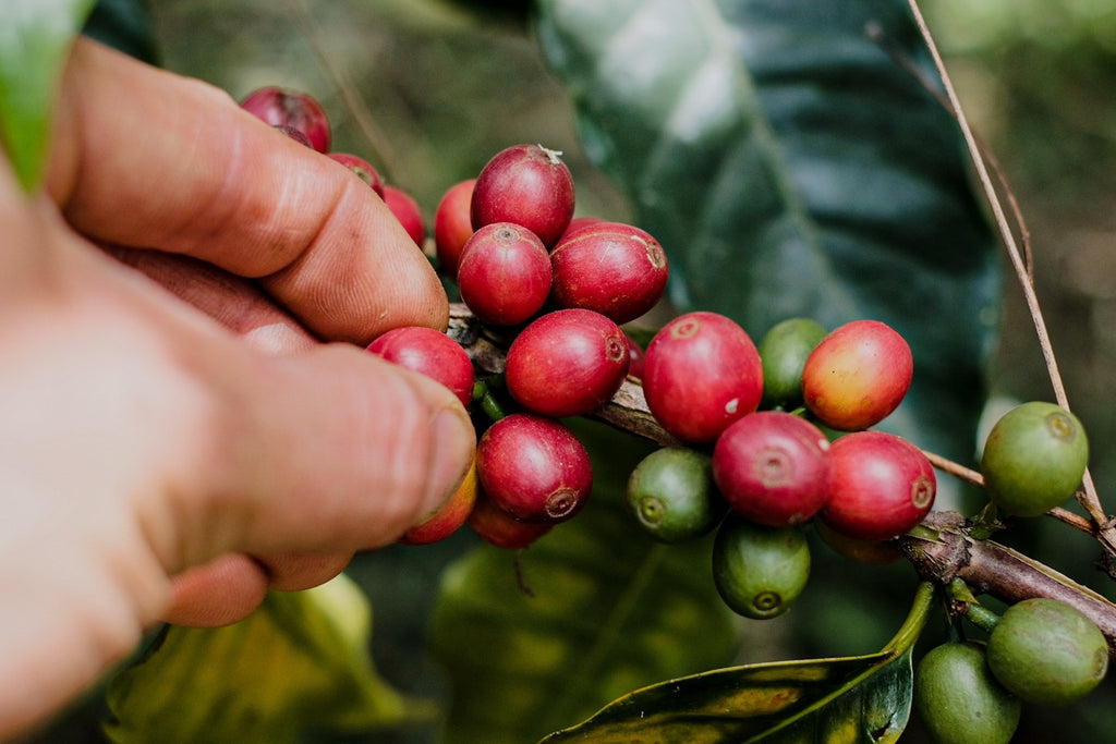 Hand picked coffee cherry