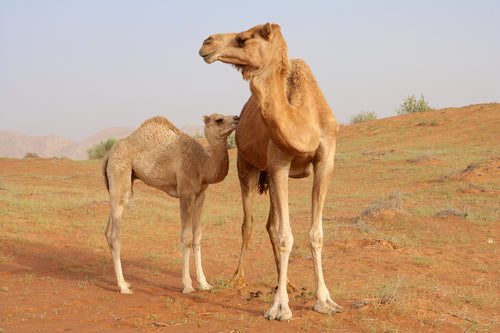 Immune and Antiviral Support with Camel Milk - COVID19