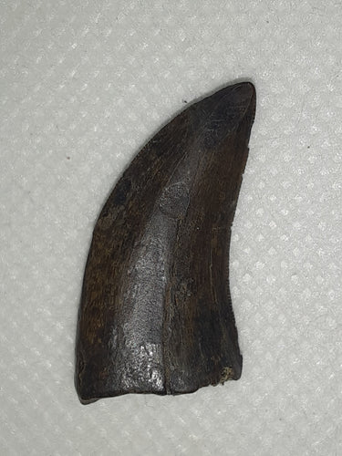 Nanotyrannus Tooth