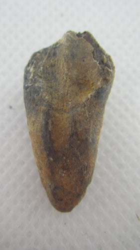 Ceratopsian Tooth, Judith River Formation