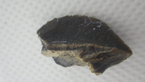 Ceratopsian Tooth, Aguja Formation, Texas
