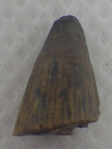 Deinosuchus (Crocodile) Tooth Tip from Texas