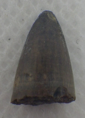 Deinosuchus (Crocodile) Tooth from Texas