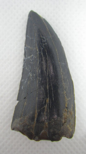 Timulengia Tooth, Bissekty Formation