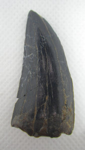 Timurlengia Tooth, Bissekty Formation