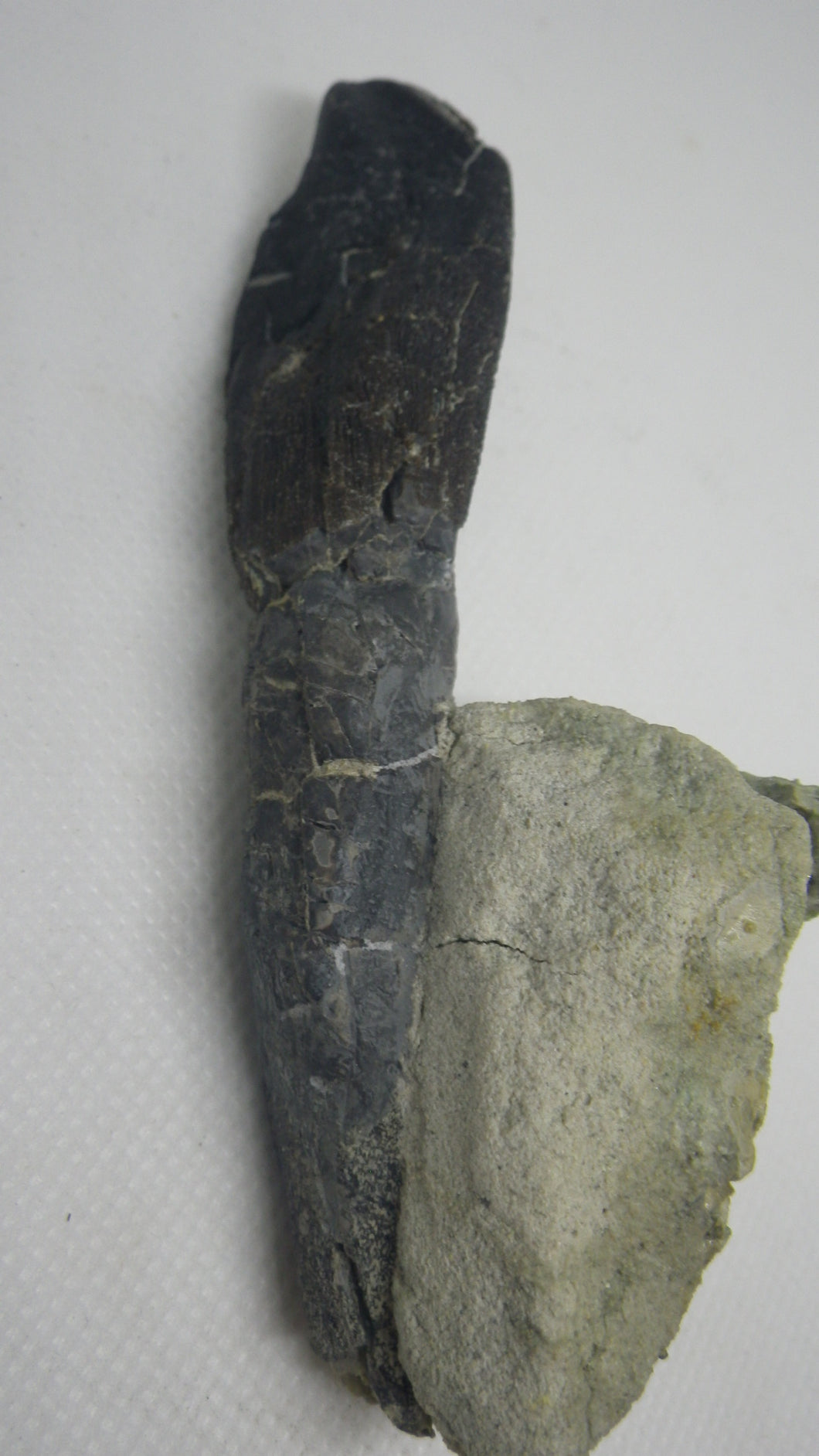 Rooted Camarasaurus Tooth 4