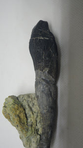 Rooted Camarasaurus Tooth 4""