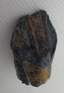 Triceratops Tooth Partial Root, Lance Formation Wyoming