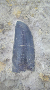Allosaurus jimmadseni Tooth in Matrix