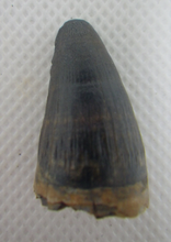 Load image into Gallery viewer, Deinosuchus (Crocodile) Tooth from Texas