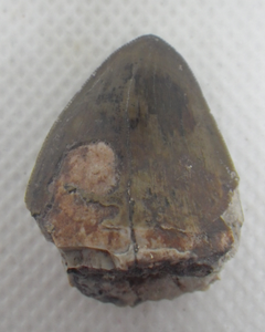 "1.05"" tall 0.8"" wide Phytosaur tooth"
