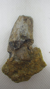 Tyrannosaur Tooth on matrix, Two Medicine Formation.