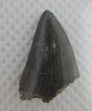 Load image into Gallery viewer, Tyrannosaur Tooth from the Judith River Formation