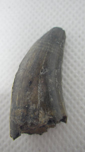 Tyrannosaur Tooth from the Judith River Formation